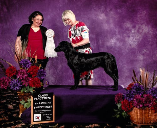 Maplecreek Black Swallowtail (Summer), 4th/6-9 months sweepstakes, 2012 Flatcoated Retriever National Speciality